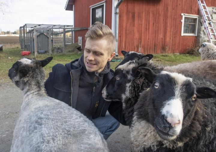 Leo Leinoa oli maanantaina töistä palatessa vastassa kainuunharmasrotuisten lampaiden lauma.