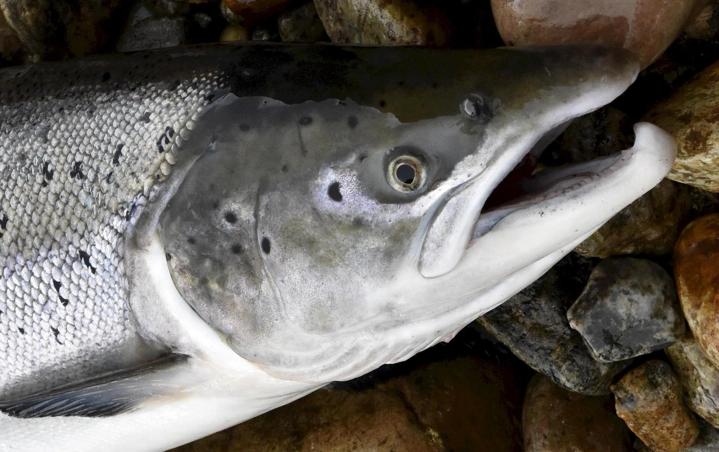 EU:n ministerit päättivät Suomen kannalta suosiollisesti lohen kalastuskiintiöistä. LEHTIKUVA / JUSSI NUKARI