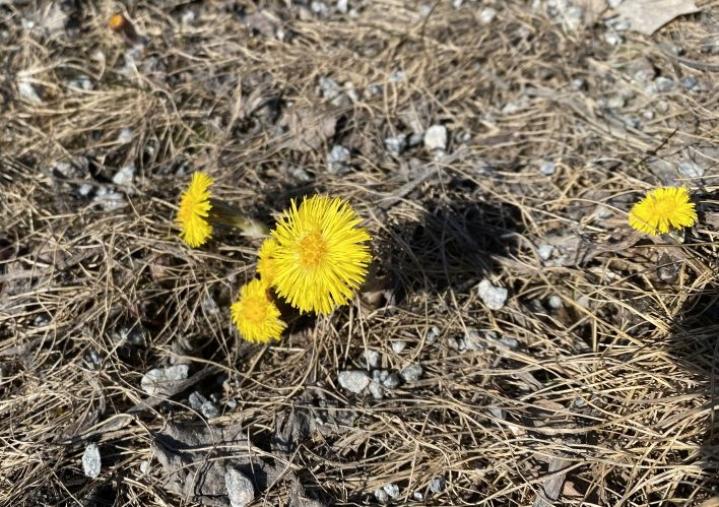 Leskenlehdet olivat puhjenneet kukkimaan aurinkoisen ja lämpimän sään myötä 17. huhtikuuta