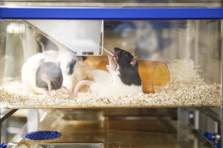 Koe-eläinkeskuksessa on otettu käyttöön eläimiä vähemmän stressaavia käsittelytapoja ja sellaisia kuivikkeita ja ruokia, jotka eivät haittaa eläinten aineenvaihduntaa. Rotat ovat laumaeläimiä, joten niitä on monta samassa häkissä.