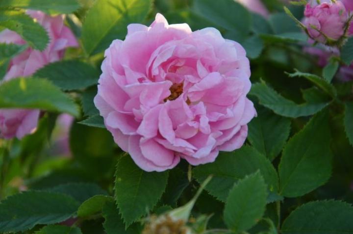 Norjanruusu Rosa Hurdal hurmaa upealla värillään.