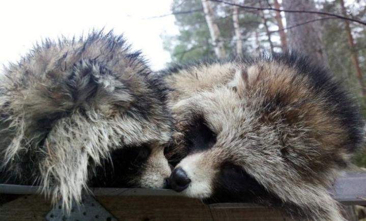 Kuolleista eläimistä otetuista näytteistä tutkitaan vakavia eläintauteja, jotka voivat tarttua myös ihmiseen.