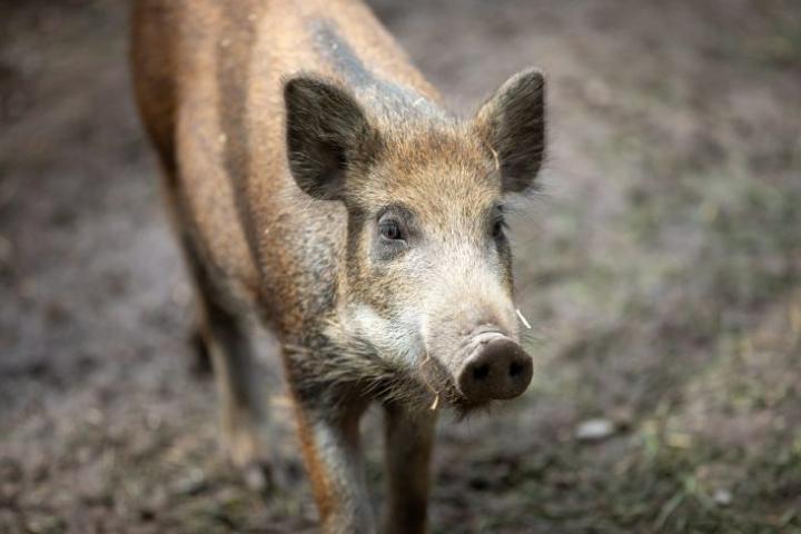 Villisika Korkeasaaren eläintarhassa. LEHTIKUVA / ANNI REENPÄÄ
