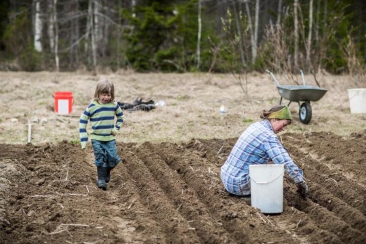 Kevään kiireisimmät viikot. Perheelle riittää kaksi pitkää riviä porkkanaa, talkoiden ja omavaraopiston varaksi laitetaan neljä, Maria Dorff suunnittelee. Apuna talon kasvimaalla perheen kuopus Justus, 5.