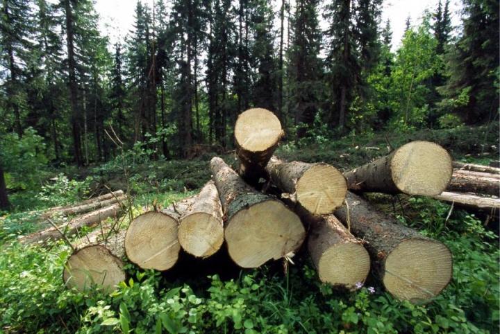 Käräjäoikeuden mukaan ei ole näyttöä, että kartelli olisi aiheuttanut Metsähallitukselle vahinkoa raakapuun alihintana. LEHTIKUVA / MARTTI KAINULAINEN