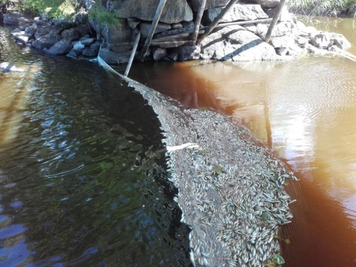 Pohjois-Savon Rautalampi-järven kalakuolemille ei ilmeisesti ole yhtä syytä.  LEHTIKUVA / HANDOUT
