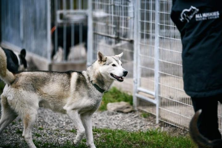 Myös All Huskies -koiratarhalla on käynnistelty kummitoimintaa koirien ruokakuluja kattamaan. LEHTIKUVA / AKU HÄYRYNEN