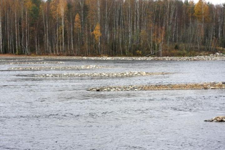 Laurinvirrasta löydettiin viisi järvilohen ja/tai -taimenen kutupesää. Kuva viime syksyltä.