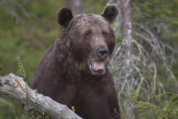 Karhujahtiin ei toinna lähteä pikkurahan kanssa, käy ilmi tutkimuksesta.