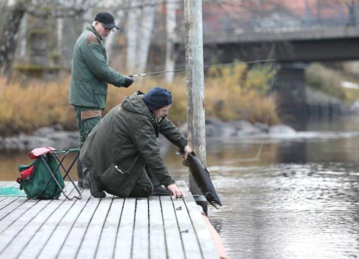 Jari Pussinen ja Heikki Jääskeläinen vapauttivat aiemmin syksyllä Kimmelin laiturilta kaupunginkoskesta pyytämänsä järvilohikoiraan.