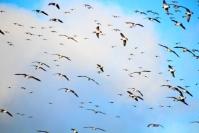 Valkoposkihanhi pysyy tiukasti suojeltuna, vaikka kyseessä on vahinkolintu