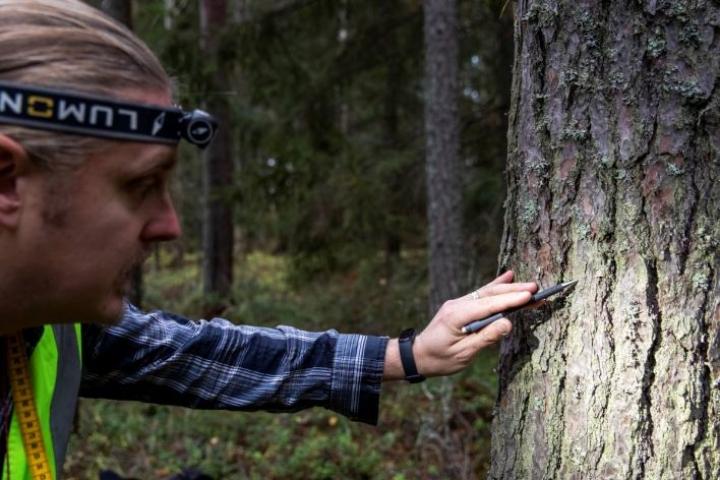 Puussa vihertävänä näkyvä levä valtaa alaa ilman epäpuhtauksien vuoksi. Tutkimusta Joensuun Kuhasalossa tekee Ramboll Finland Oy:n projektipäällikkö Janne Ruth.