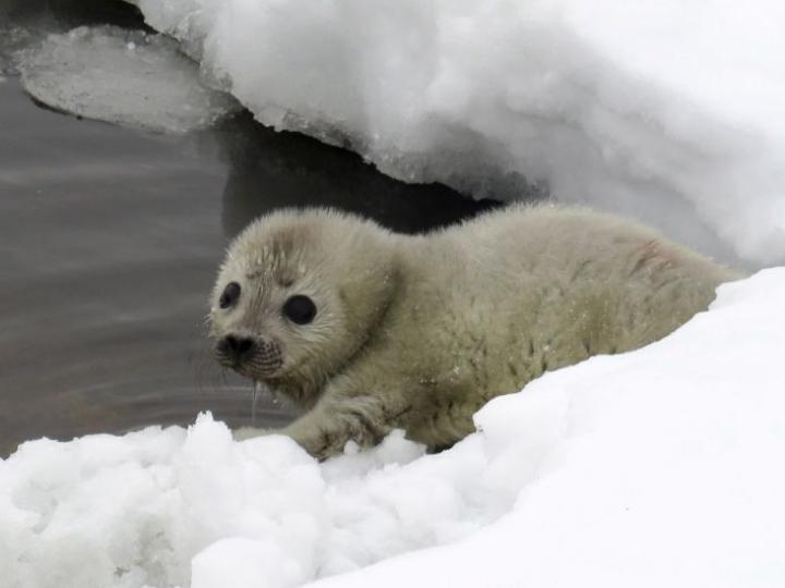 Lumipesä suojaa kuutteja petoeläimiltä ja pakkaselta. LEHTIKUVA / HANDOUT