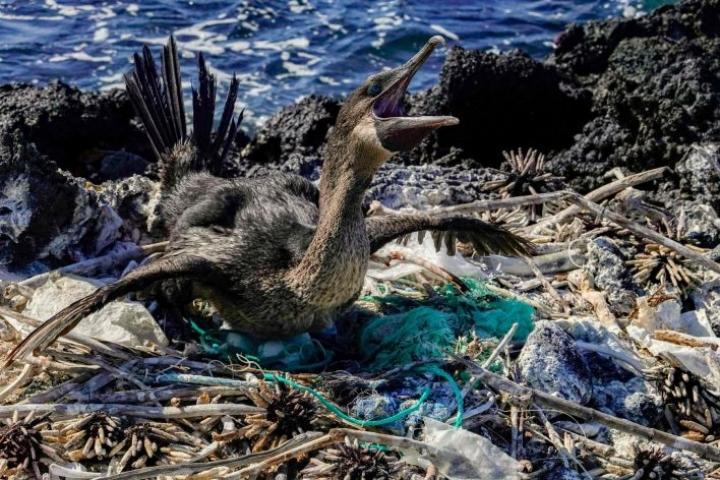 Muoviroskat ovat uhka iguaaneille, kilpikonnille, linnuille ja Galapagossaarten kaloille. LEHTIKUVA/AFP