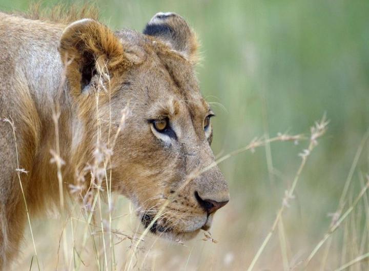 Etelä-Afrikan vaikutusvaltainen ja rikas metsästystoimiala  perustuu paljolti vankeudessa kasvatettuihin leijoniin. LEHTIKUVA / AFP
