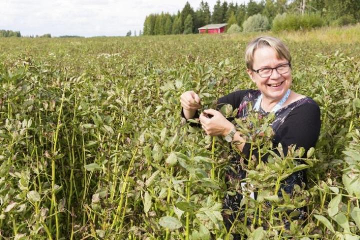 Kaija Hakalan mukaan muun muassa härkäpapu kuuluu yleistyviin viljelykasveihin kasvukauden pidentyessä ja hehtaarisatojen noustessa.