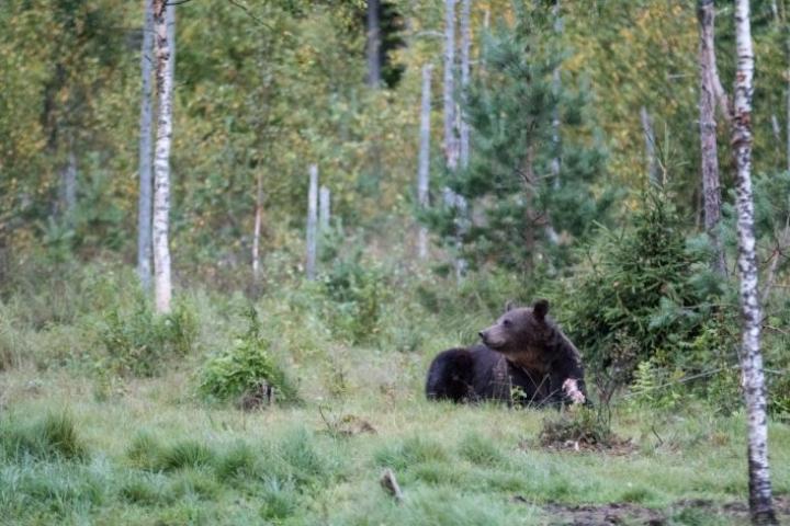 Aihekuva. Kuvan karhu ei todennäköisesti liity tapaukseen.