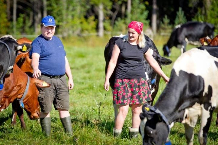 Kesä, karja ja kärpäset -maaseutuidylli on säilynyt vielä Kiihtelysvaaran Särkivaarassa Asko ja Marita Miettisen maitotilalla.