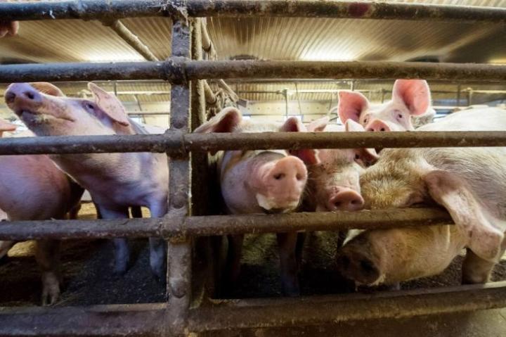 Afrikkalaisen sikaruton leviäminen Baltian maista Suomeen aiheuttaisi tappioita muun muassa sikatiloille eläinten lopettamisen, tilojen saneerauksen ja kansainvälisen kaupan pysähtymisen vuoksi.