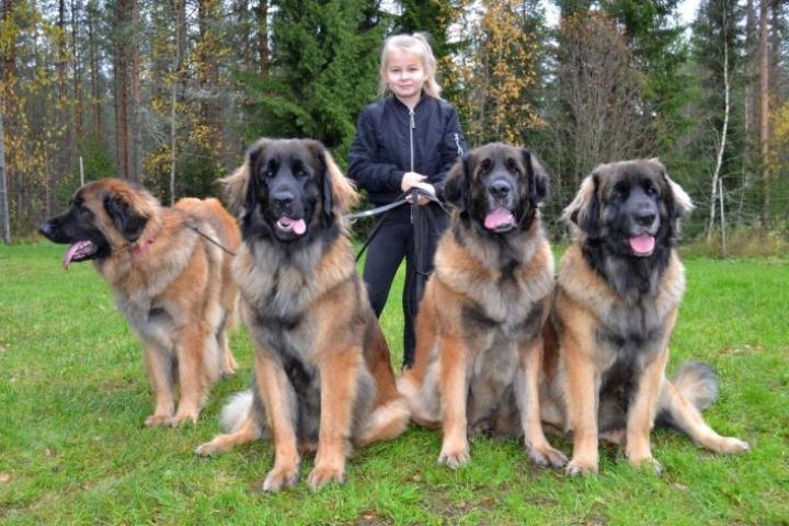 Yhdeksänvuotias Pieta Saarelainen on tottunut käsittelemään isoja koiria. Hän on monesti esittänyt niitä näyttelyissä.