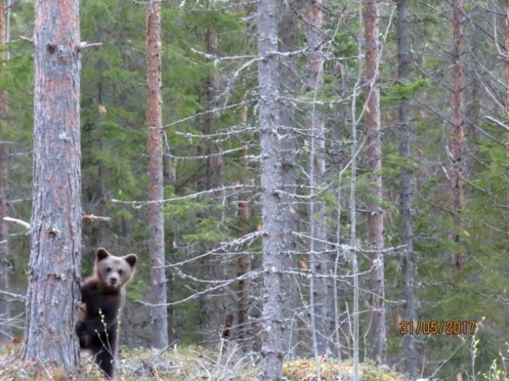 Niklas Mauro kuvasi tämän karhunpennun Lieksassa kesäkuun alussa. Silloin emokarhu liikkui neljän pennun kanssa, mutta nyt Lieksassa on havaittu emokarhu ja peräti viisi pentua.