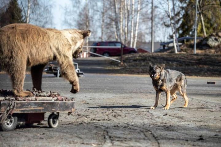 Saksanpaimenkoira Torsti on epävarma kohdatessaan karhun, mutta siitä huolimatta se tekee petoa kohtaan valehyökkäyksiä.