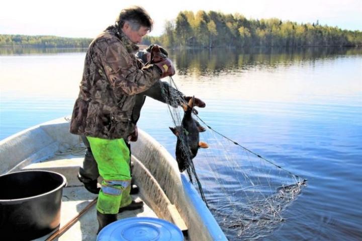 Kalastajat Markku Malinen (takana) ja Ahti Kanervo ovat pyytäneet tänä keväänä noin 3000 kiloa lahnaa Kesälahdelta Hanelinlammesta. Se on ollut pariviikkoinen urakka.