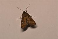 Helmiyökkönen tuli vielä syötille – perhoskausi jatkuu marraskuussa