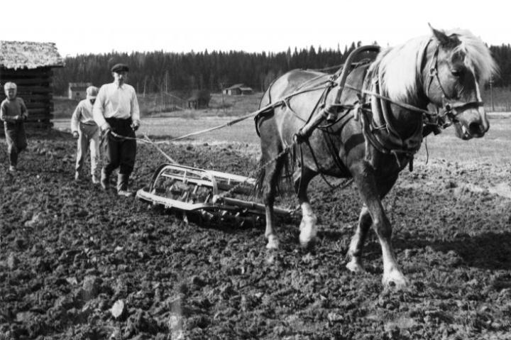 Pekka Saarelainen äestämässä kotitilan peltoa Nurmeksen Koivusillalla 1950-luvulla.