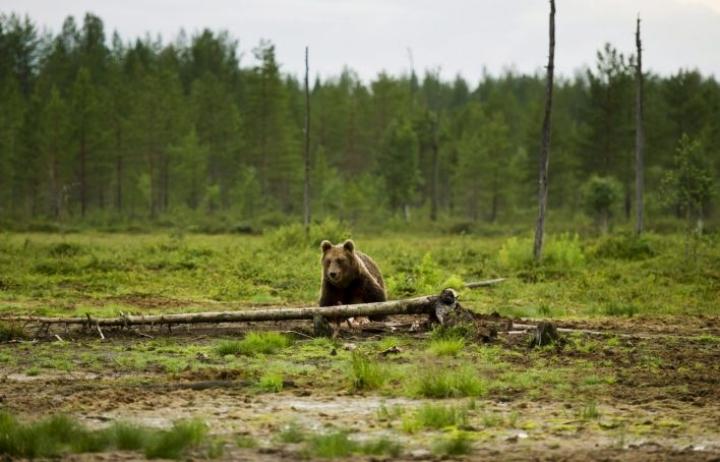 Karhu ja auto törmäsivät Ilomantsissa viime yönä. Kuvan karhu on kuvattu Kuhmossa. LEHTIKUVA / Roni Rekomaa