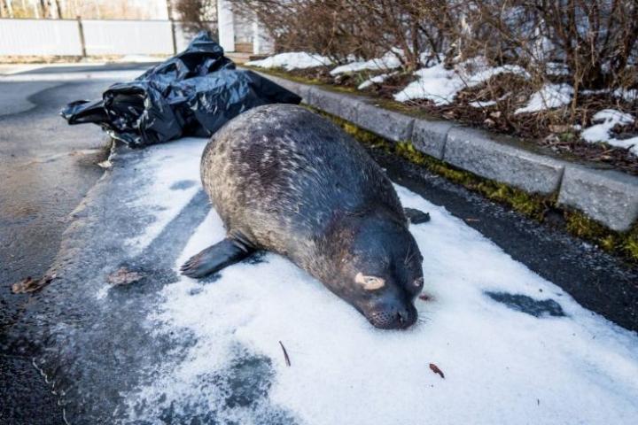Kuollut saimaannorppa löytyi maanantaiaamuna rantakivikolta Marjalasta.