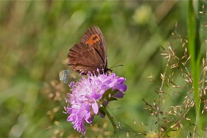 Luonnonkukat houkuttelevat myös perhosia, kuvassa metsänokiperhonen ruusuruoholla.