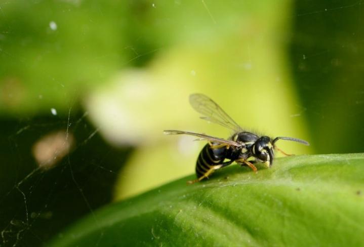 Noin kaksi prosenttia suomalaisista on allergisia ampiaisten ja mehiläisten pistoille. LEHTIKUVA / Mikko Stig