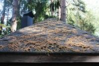 Männylläkin on ruskansa - havupuu saattaa vaihtaa kerralla usean vuoden neulaskiertonsa