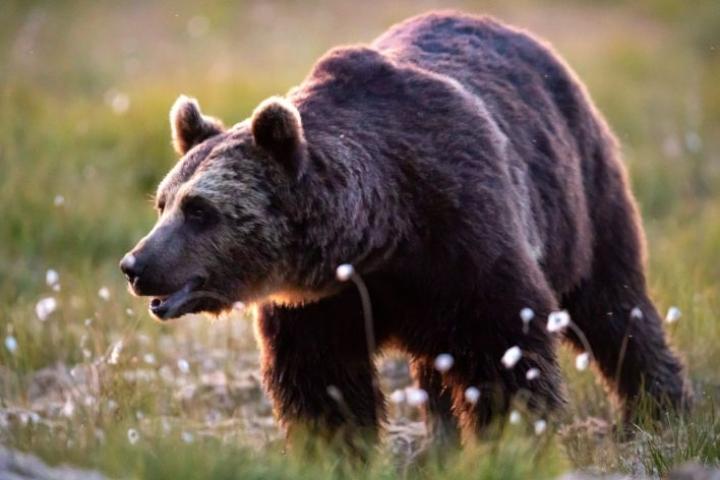 Karhun vammat arvioitiin pieniksi. Kuvan karhu ei liity tapaukseen, vaan on kuvattu Kuhmossa. LEHTIKUVA / ANNI REENPÄÄ