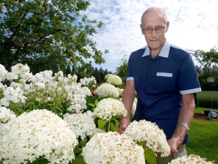 Leo Karppasen pallohortensiat ovat tehneet tänä kesänä jopa 30-senttisiä kukintoja, ja taiteilijan mielestä parhaita ovatkin valkoiset kukat vihreää taustaa vasten. Myös puutarha houkuttelee yleisöä Saiholle, joka sai valtakunnallista näkyvyyttä television Egenland-sarjassa.