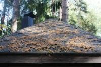 Männylläkin on ruskansa – normaalisti vuodessa karisee yksi vuosikerta
