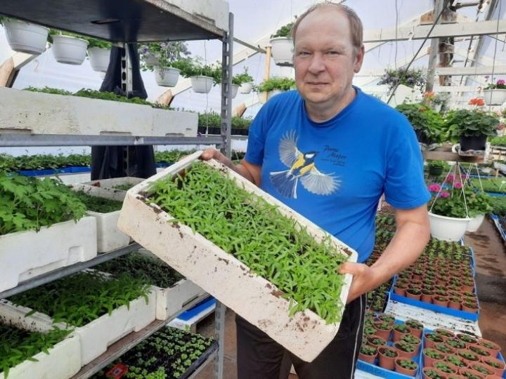 Tomaatti kylvetään suoraan laatikoihin, josta ne sitten koulitaan omiin purkkeihin, kertoo yrittäjä Markku Halonen Karjalanruususta.