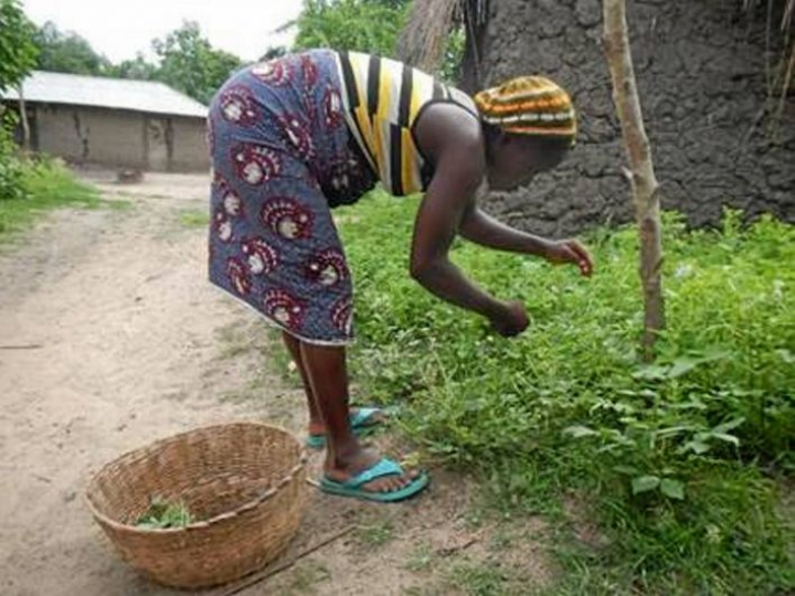 Nainen poimii hämähäkkikukkiin kuuluvaa kasvia Etelä-Beninissä.