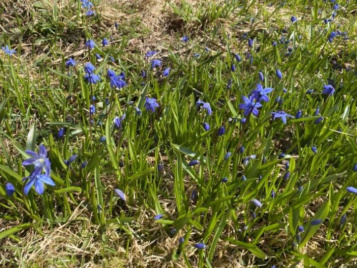 Kevätkukkien loistoa huhtikuun 29. päivänä huolimatta viileästä kuun lopusta.