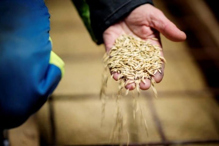Suomen ilmasto sopii hyvin kauranviljelyyn. Meillä tuotetaankin noin miljardi kiloa kauraa vuodessa. Siitä valtaosa menee rehuksi, mutta kauran elintarvikekäyttö nousee 5-10 prosentin vuosivauhtia.