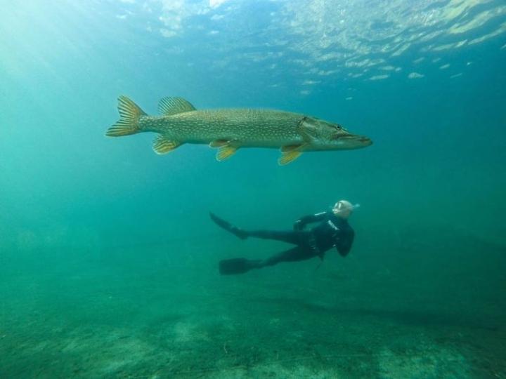 Vapaat sukeltajat -niminen kuva toi tänä vuonna Jarno Artikalle Vuoden luontokuva -kilpailussa toisen sijan sarjassa Ihminen ja luonto.