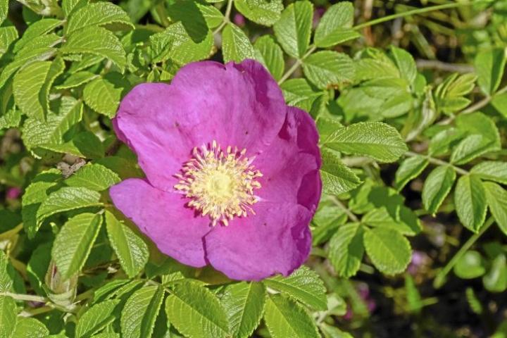Haitallinen vieraslaji eli kurtturuusu, Rosa rugosa. Tämä lajike tulisi hävittää kahden vuoden sisällä.